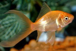 comet-goldfish-caras-cometa