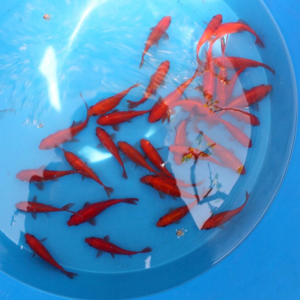 Carasi ornamentali Goldfish
