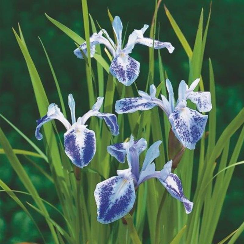 Iris laevigata Mottled Beauty