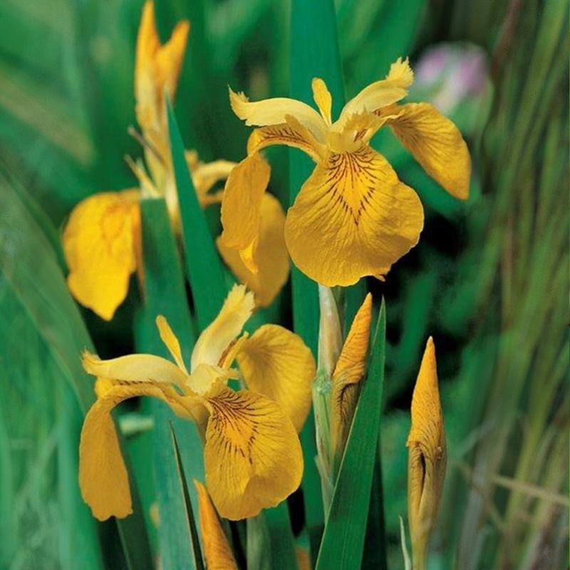 Iris pesudacorus