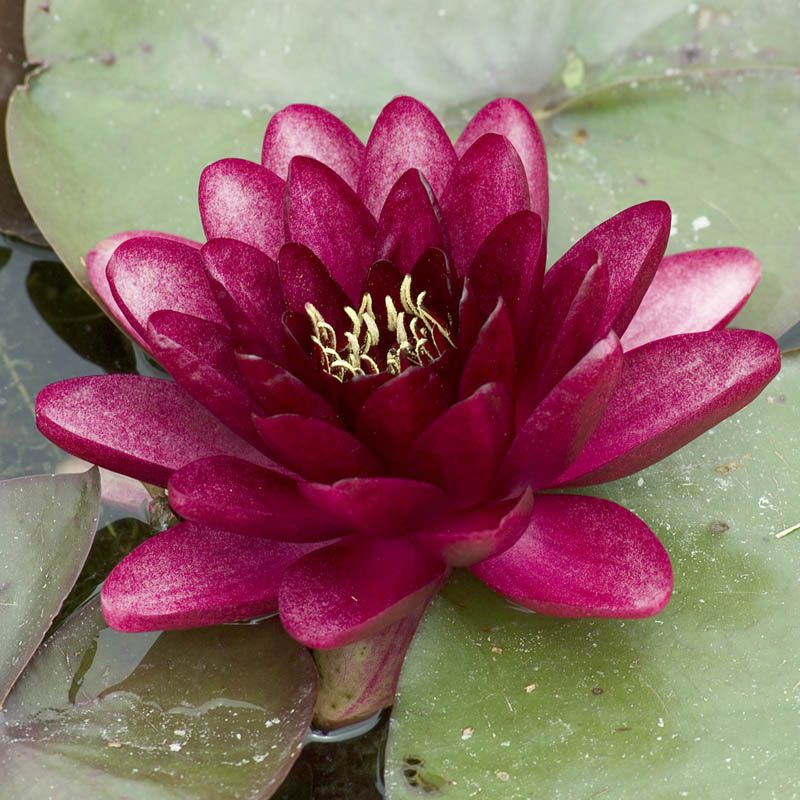 Nufar Nymphaea Perry Almost Black